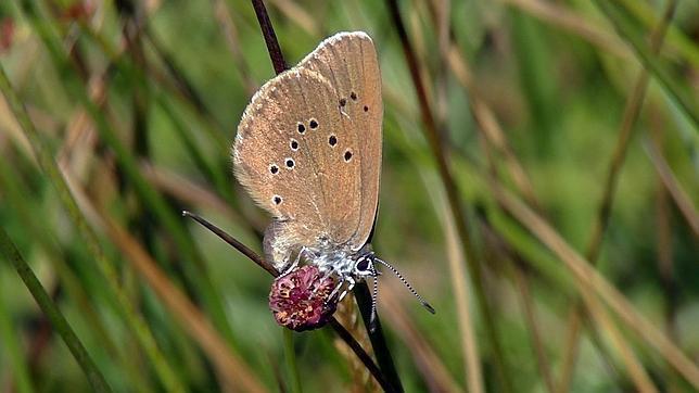 mariposa-hormiguera oscura