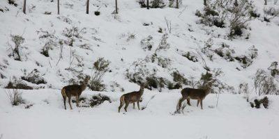 ciervos-montaña--Palentina